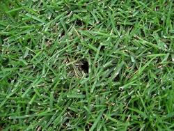 ゴルフ芝 種類